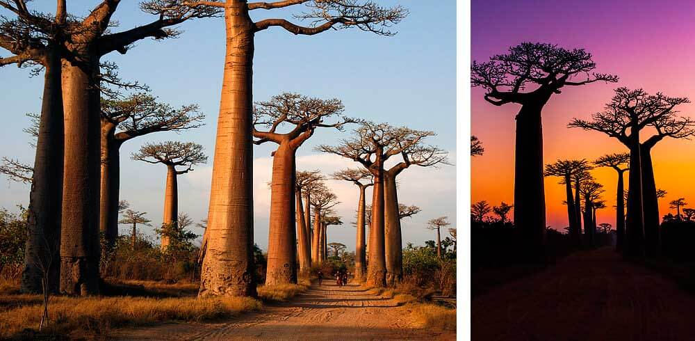 lugares-increibles-sacados-de-cuentos-baobabs-madagascar-1